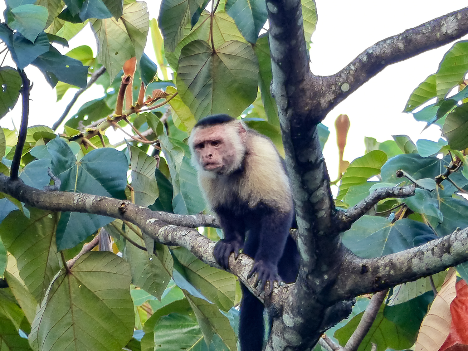 Bravo Luis in a Balsa Tree, where the monkeys like to drink nectar from big white flowers during the evening.