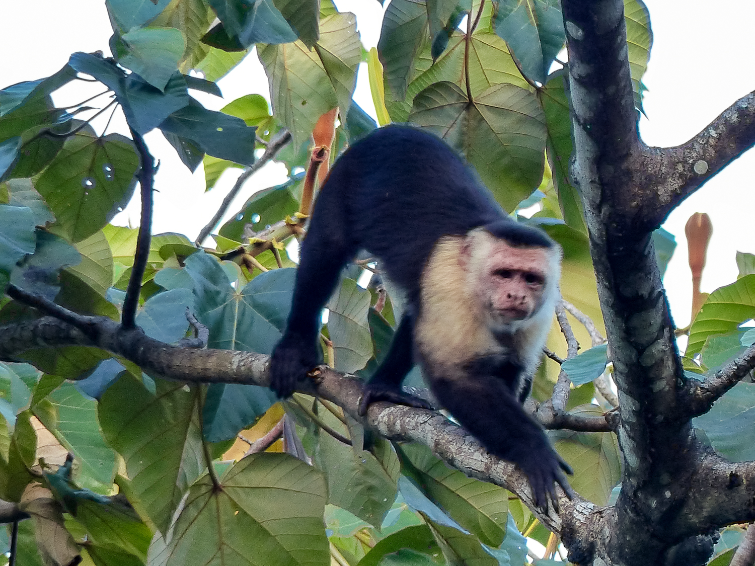 Bravo Luis the Capuchin Monkey was remarkably good at knowing when the biologist with the dart-gun was nearby, and would then hide in the treetops.