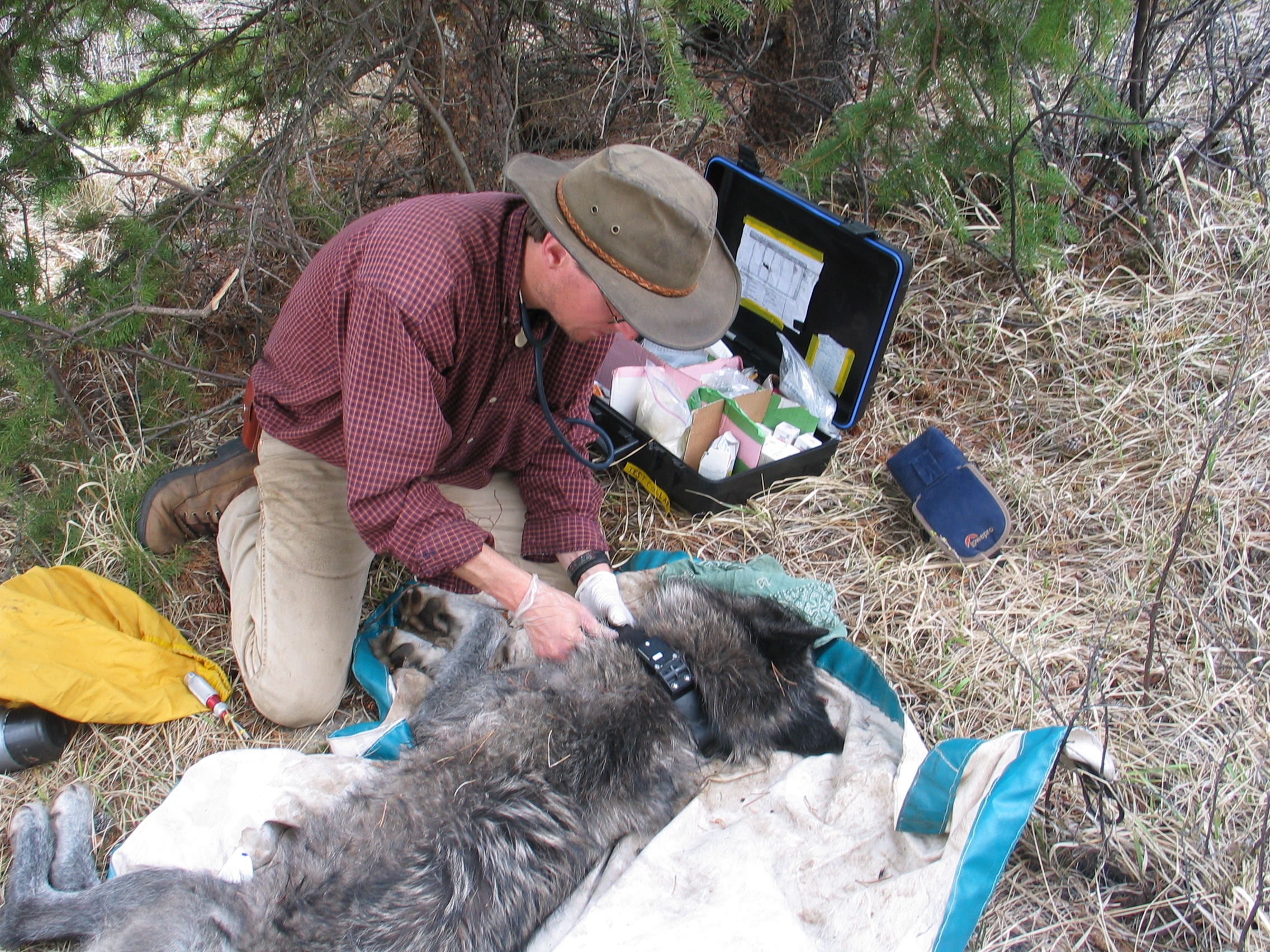 Mark Hebblewhite attaches a new GPS tracking collar to a tranquilized wolf as part of his ongoing research.