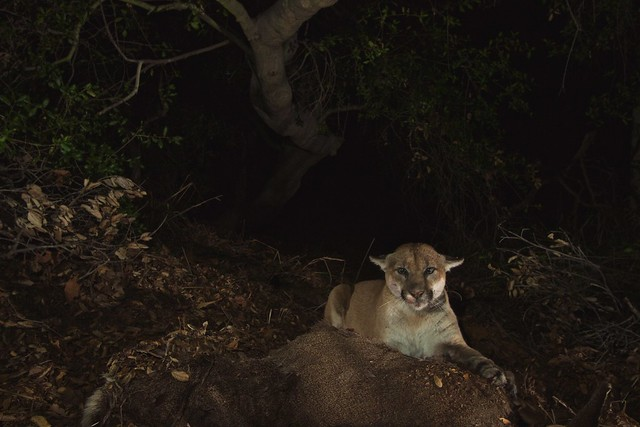 This is P22, the Mountain Lion of Hollywood.  (Picture by National Park Service)
