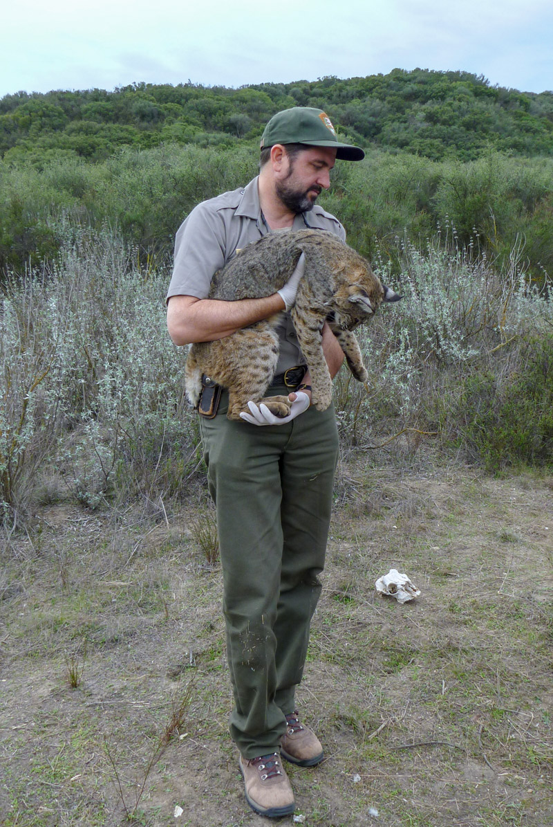Dr. Seth Riley holding a tranquilized bobcat as part of a related research project in the Santa Monica Mountain National Recreation Area.