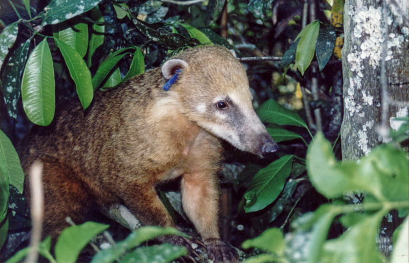 Vanilla Ice, the South American Coati.